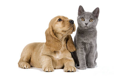 Chartreux Wall Art - Photograph - Cocker Spaniel And Chartreux by Jean-Michel Labat