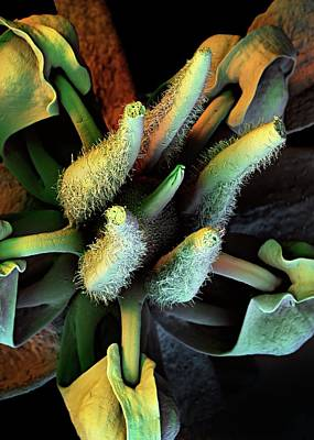 Sepal Photograph - Cocoa Tree Flower by Stefan Diller