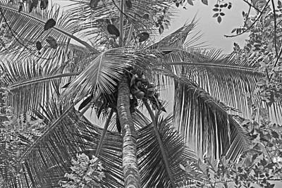 Photograph - Coconut Palm by Tony Murtagh
