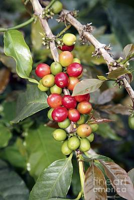 Coffee Plant Photograph - Coffee Plant With Fruit by Bjorn Svensson