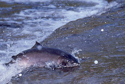 Photograph - Coho Salmon by Thomas And Pat Leeson