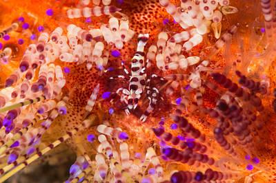 Coleman Shrimp Photograph - Coleman Shrimp On Fire Urchin by Andrew J. Martinez