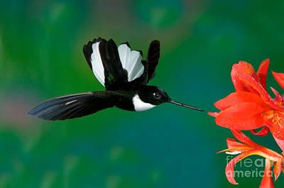 Collared Inca Hummngbird Art Print by Anthony Mercieca