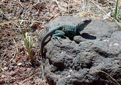 Photograph - Collared Lizard by Susan Woodward