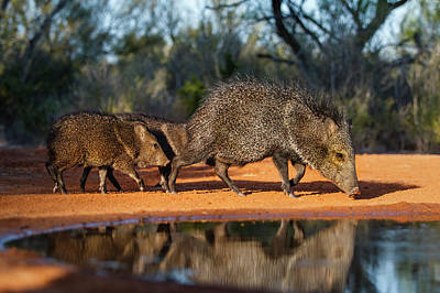 Dry Brush Wall Art - Photograph - Collared Peccary (pecari Tajacu by Larry Ditto