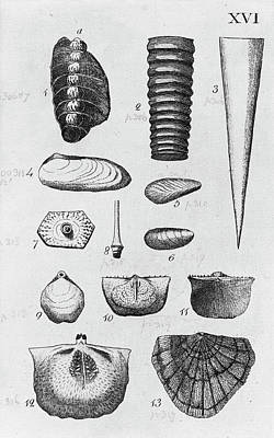 Collection Of Molluscs Art Print by Natural History Museum, London