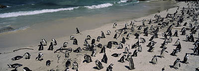Flock Of Bird Photograph - Colony Of Jackass Penguins Spheniscus by Panoramic Images