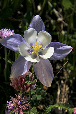 Photograph - Colorado Columbine by Marta Alfred