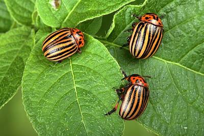 Colorado Wildlife Wall Art - Photograph - Colorado Potato Beetles by Pascal Goetgheluck/science Photo Library