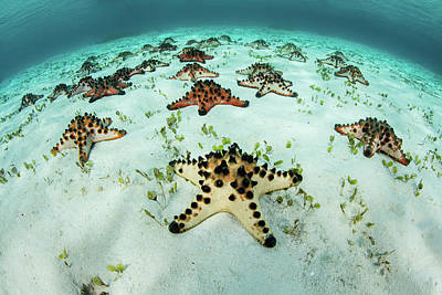 Photograph - Colorful Chocolate Chip Sea Stars Lay by Ethan Daniels