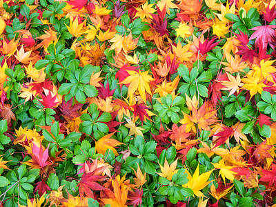 Photograph - Colorful Fall Leaves And Pachysandra by Marianne Campolongo