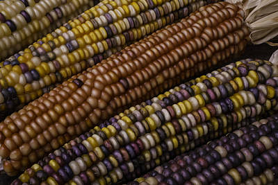 Indian Corn Wall Art - Photograph - Colorful Indian Corn by Garry Gay