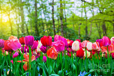 Fresh Photograph - Colorful Tulip Flowers In Spring Park by Michal Bednarek
