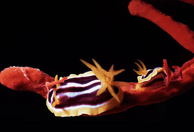 Colourful Nudibranch Art Print