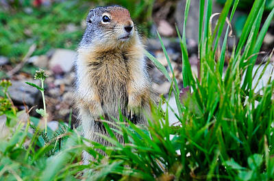Photograph - Columbian Ground Squirrel by Bonnie Fink