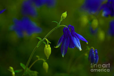 Photograph - Columbine by Barbara Schultheis