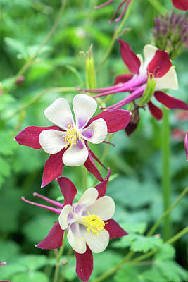 Aquilegia Photograph - Columbine Flowers, Usa by Lisa S. Engelbrecht