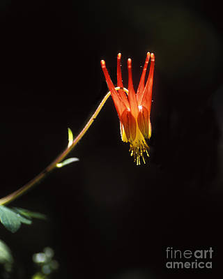 Photograph - Columbine by Steven Ralser