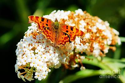 Photograph - Comma Butterfly by David Birchall