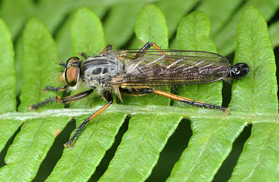 Common Awl Robberfly Art Print by Nigel Downer