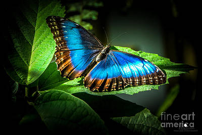 Photograph - Common Blue Morpho Moth by Grace Grogan