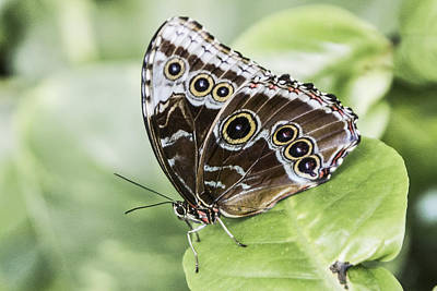 Digital Art - 00011 Common Blue Morpho  by Photographic Art by Russel Ray Photos
