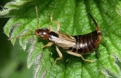 Arthropoda Photograph - Common Earwig by Nigel Downer