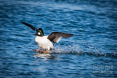 Photograph - Common Goldeneye - Male by Ronald Grogan