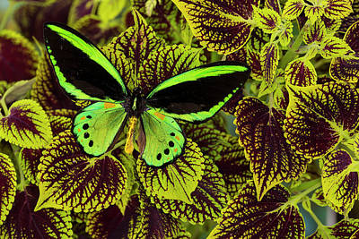 Coleus Photograph - Common Green Birdwing Or The Priams by Darrell Gulin