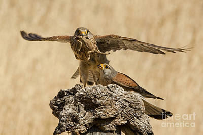 Birds Of Israel Photograph - Common Kestrel Falco Tinnunculus by Eyal Bartov