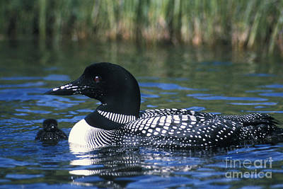 Common Loon Art Print by Mark Newman