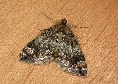 Common Marbled Carpet Moth Art Print by Nigel Downer