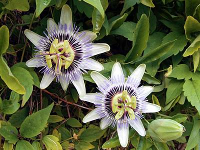 Common Passion Flower Art Print by D C Robinson