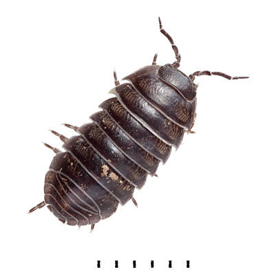 Common Pill Woodlouse Art Print by Natural History Museum, London