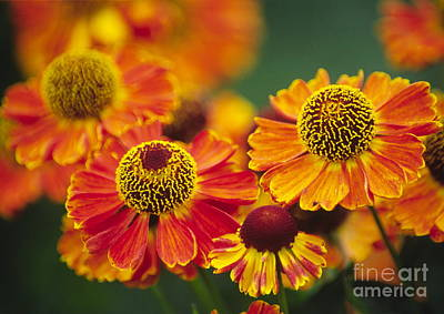 Common Sneezeweed Helenium Autumnale Art Print by Dr. Nick Kurzenko