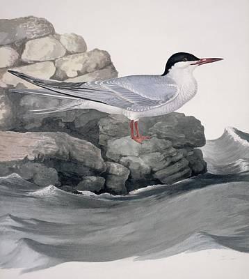 Hirundo Photograph - Common Tern, 19th Century Artwork by Science Photo Library