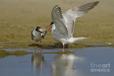 Common Tern Sterna Hirundo Art Print by Eyal Bartov