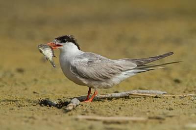 Hirundo Photograph - Common Tern (sterna Hirundo) by Photostock-israel