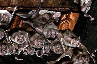 Bloodsucker Photograph - Common Vampire Bat Colony by Science Photo Library