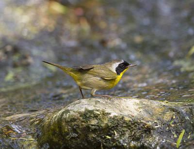 Photograph - Common Yellowthroat by Doug Lloyd