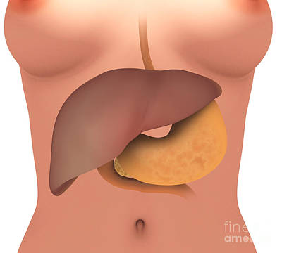 Digital Art - Conceptual Image Of Human Digestive by Stocktrek Images