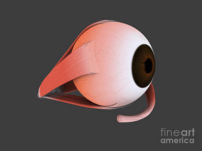 Digital Art - Conceptual Image Of Human Eye Anatomy by Stocktrek Images
