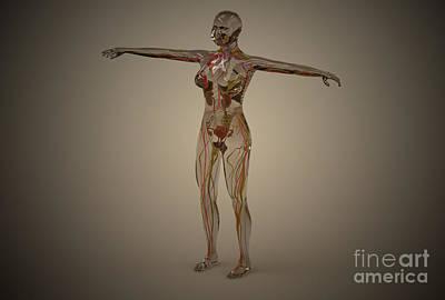 Peroneal Nerves Digital Art - Conceptual Image Of Human Nervous by Stocktrek Images