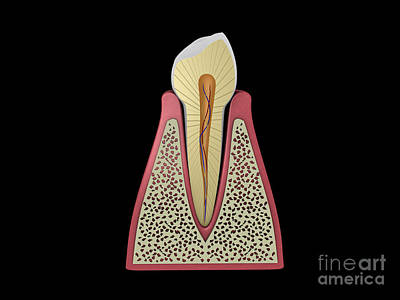 Digital Art - Conceptual Image Of Human Tooth by Stocktrek Images