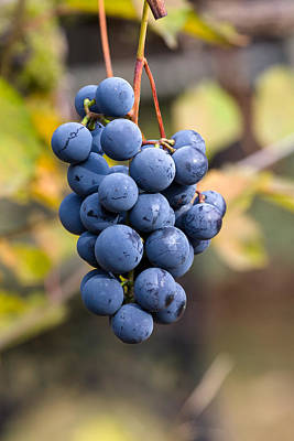 Concord Grapes Photograph - Concord Grapes by Michael Russell