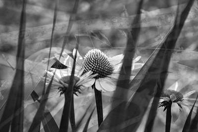 Photograph - Cone Flower Black And White by Lesa Fine