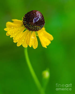 Photograph - Coneflower In Rain by Anthony Heflin