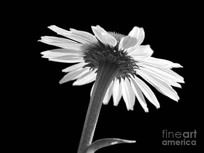 Genus Photograph - Coneflower by Tony Cordoza