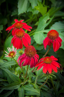 Abstracted Coneflowers Photograph - Coneflowers Echinacea Red  by Rich Franco
