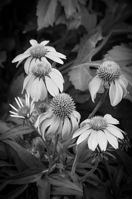 Abstracted Coneflowers Photograph - Coneflowers Echinacea Rudbeckia Bw by Rich Franco